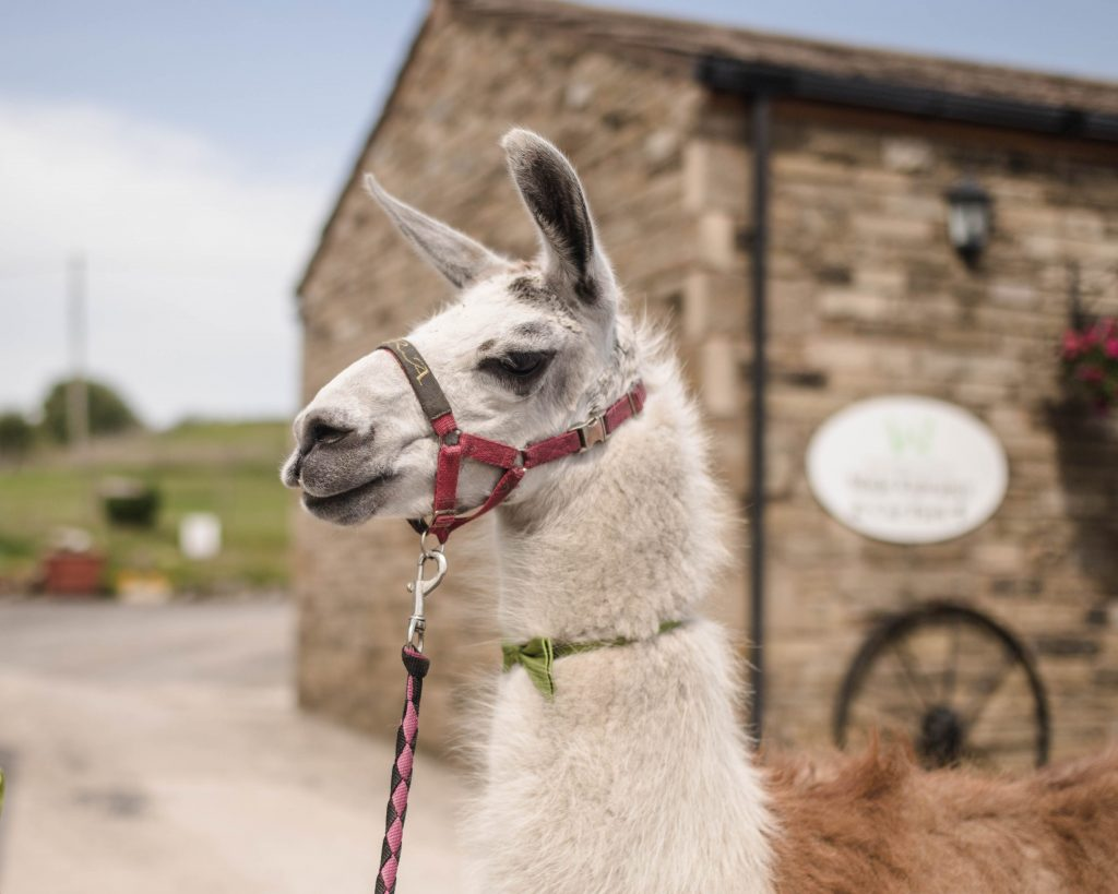 llama from the wellbeing farm in lancashire.