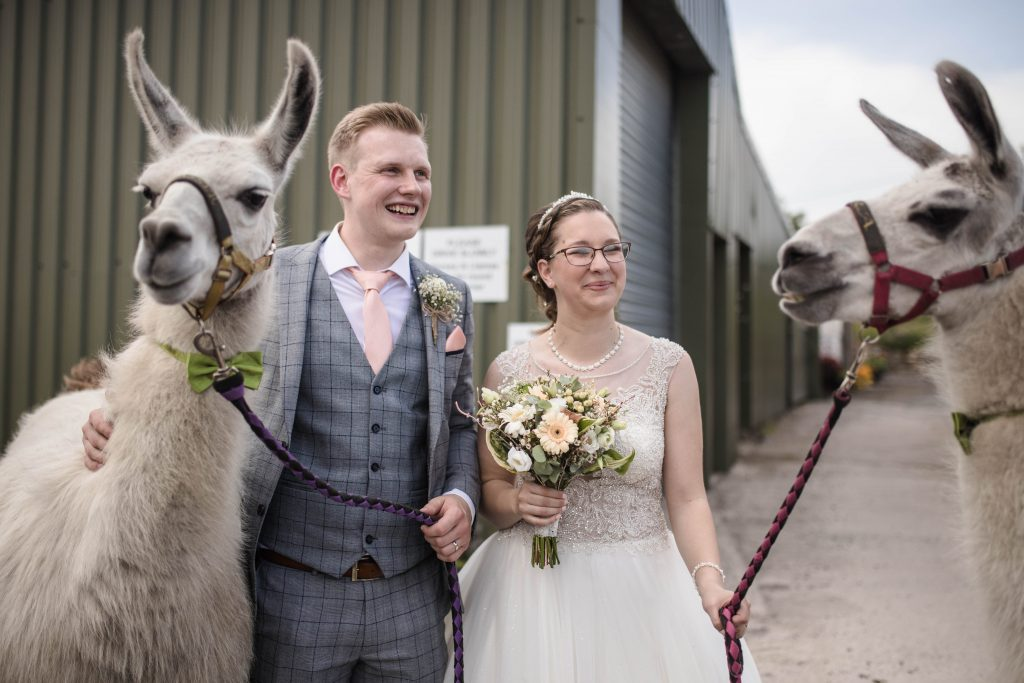 the bride and groom with the llamas at the wellbeing farm in lancashire.
